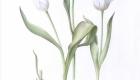 tulip_01-copy