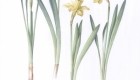 yellow-narcisus_01-copy